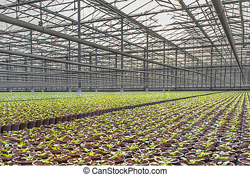 Growing Crops in a large scale Nursery Greenhouse in the Netherlands