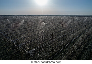 Aerial image of fruit trees protection from frost in modern orchard by spraying trees with water. Ice around bud keeping adequate temperature