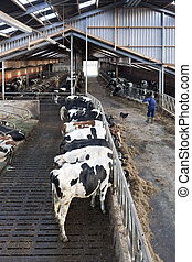 Modern Stable - Modern stable intyerior, with manuy cows ...