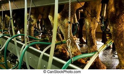 moderne, laitage, ligne, traite, vaches, ferme, automatisé