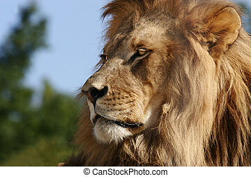 Modesty of a King - African Lion, resting.