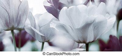 modifié tonalité, concept, tulipes