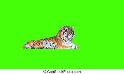 moe, tiger, het liggen, op, groene, screen.