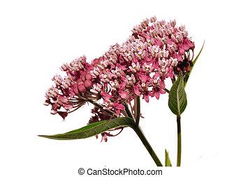 moeras, wildflower, milkweed