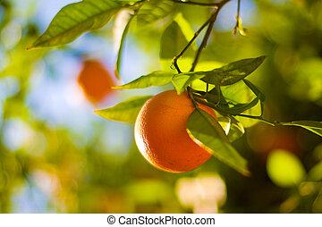 mogen, dof., ytlig, träd, apelsiner, apelsin, close-up.