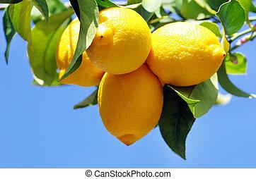 mogen, lemons, på, citronträd