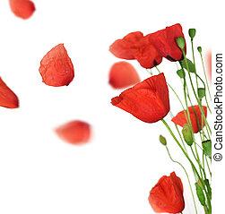 mohnblume, blütenblätter , aus, fliegendes, weißes