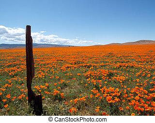 mohnblume, land, kalifornien