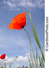 mohnblume, rotes