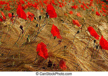 poppy and wheat in summer