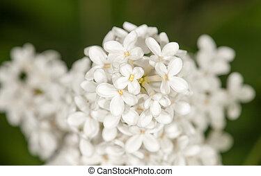 mojado, blanco, lila