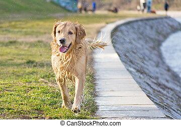 mojado, perro cobrador dorado