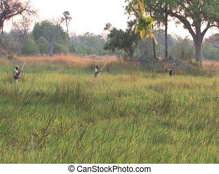 Mokoro dugout canoe pushed by pole - Okavango Delta...