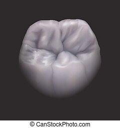 molaire, inférieur, dent