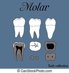 Molar - Human tooth - molar - tooth anatomy - dentine,...