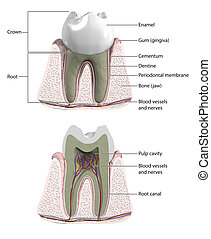 Molar tooth with cross section to show blood supply and...
