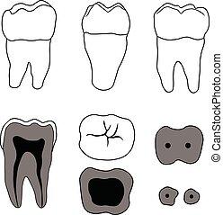 molar tooth vector