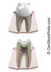 Molar tooth with cross section to show blood supply and nerves