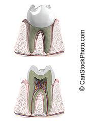 molar, zahn