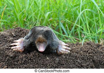 Photo of mole and molehill on garden