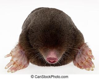 mole - animal fur on white background