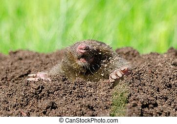 Mole head in soil. - Mole head in molehill hole soil. Enemy...