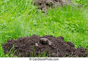 Mole head. - Mole put out his head from molehill hole. Enemy...
