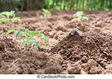 Mole in a vegetable garden