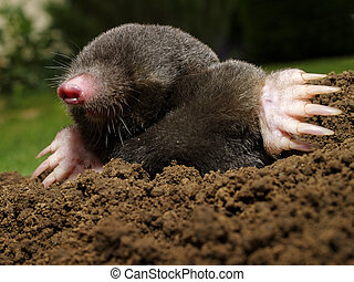 Mole in action in the garden