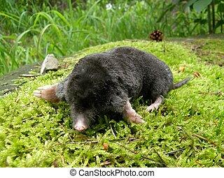 Mole on a moss