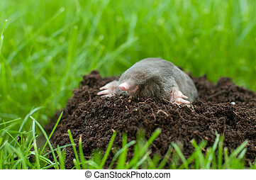 Mole out of grass