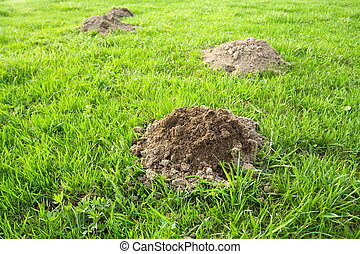 Fresh molehills at meadow in the morning