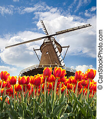 molino de viento, con, tulipanes, holanda