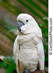 Mollucan Cockatoo - Beautiful pale pink Cockatoo, Mollucan...