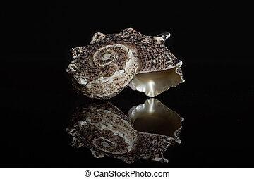 Mollusc sea shell isolated on black glass