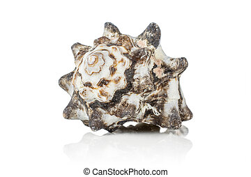 Mollusc sea shell isolated on white