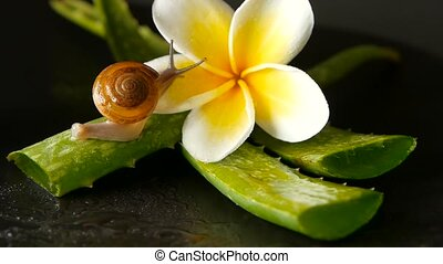 Mollusk walking on aloe vera leaf isolated, black background with frangipani plumeria tropical flower. Snail Serum moisturize cosmetic, beauty spa concept. macro closeup, soft focus. Mucus secretion