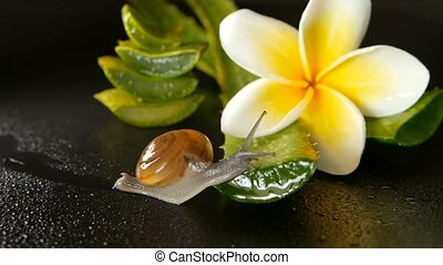 Mollusk walking on aloe vera leaf isolated, black background...