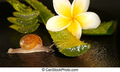 Mollusk walking on aloe vera leaf isolated, black background...