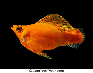 Molly fish isolated on black background