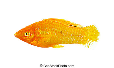 Molly fish isolated on the white background