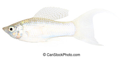 Molly fish isolated on white