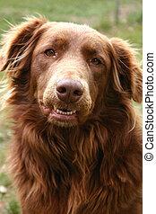 Portrait of Golden Retriever Chocolate Lab mix. Focus on the nose.