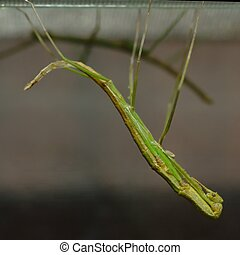 Molting stick insect - Stick insect in the moment of...