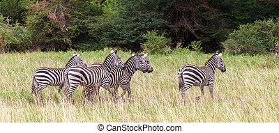 molto, di, zebre, corra, il, prateria, in, kenia