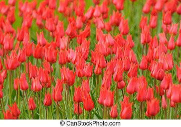 molto, poco profondo, rosso, tulips, fuoco