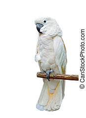 Moluccan Cockatoo - Beautiful pale pink Cockatoo, Moluccan...