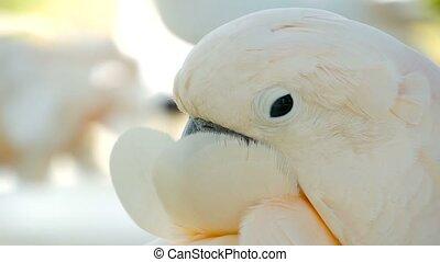 Moluccan or umbrella cockatoo. Portrait of white parrot,...