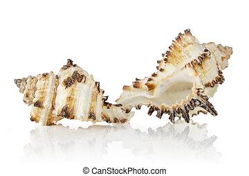 molusco, blanco, cáscara, aislado, mar