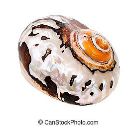 molusco, branca, concha, nautilus, isolado